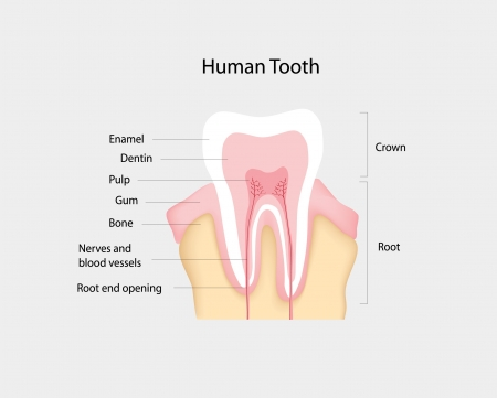 oral cavity: human tooth