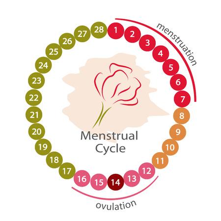 Menstrual cycle. EPS 10 file.