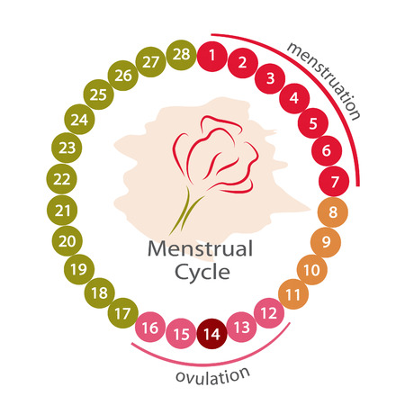 menstruation: Menstrual cycle. EPS 10 file.