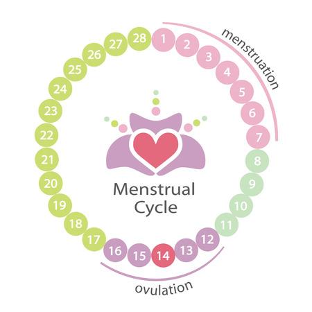 Menstruele cyclus. EPS-10-bestand.