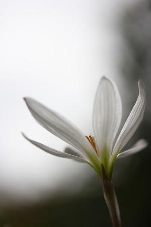White Crocus photo