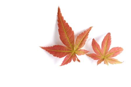 momiji: Japanese Maple Leaves Stock Photo