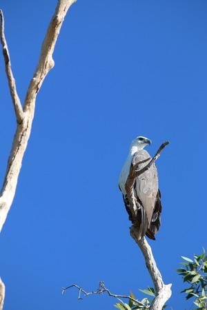 sea eagle: White Bellied Sea Eagle Stock Photo