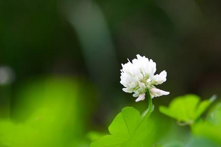 trifolium repens: White Clover Flower Stock Photo