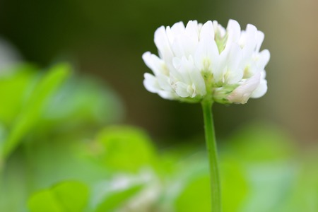 dutch clover: White Clover Flower Stock Photo