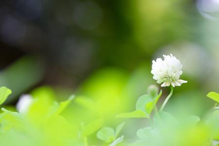 White Clover Flower Stock Photo