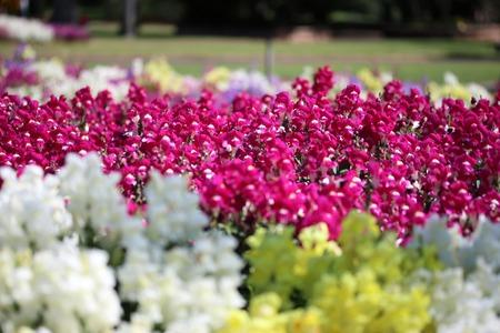 snapdragon: Snapdragon Flowers Stock Photo