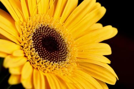yellow: Yellow Gerbera