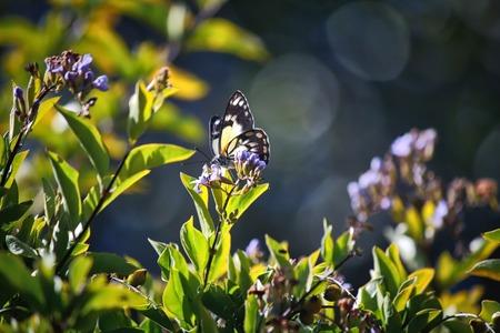 caper: Caper White Butterfly