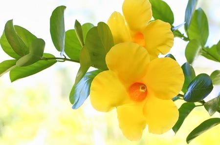 dipladenia: Dipladenia citrino Fiore