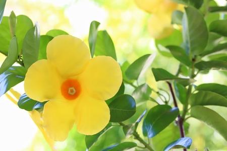dipladenia: Dipladenia Citrine Flower Archivio Fotografico