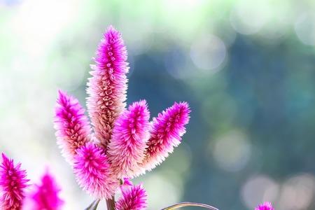 Celosia Argentea Flowers Stock Photo