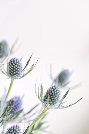 신선한 Eryngium 꽃 스톡 콘텐츠