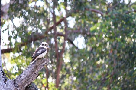 A wild Kookaburra bird sitting on a tree, New South Wales, Australia. Фото со стока