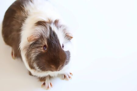 A portrait of a cute brown and white pet guinea pig on white background. Stock fotó