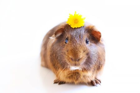 A portrait of a cute brown pet guinea pig with a dandelion flower on its head on white background.