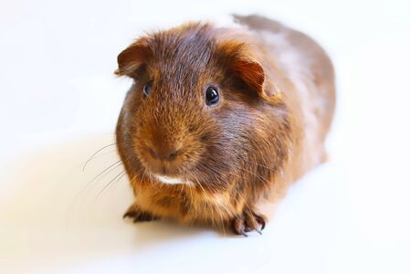 A portrait of a cute brown pet guinea pig on white background. Stock fotó