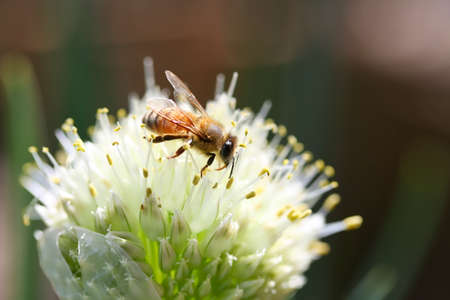 A close up shot of a small honey bee busily working on a spring onion flower in sunlight.