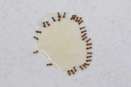 A close up shot of some pest coastal brown ants eating ant bait, Queensland, Australia.