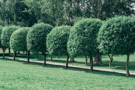 A row of green trees in perspective. The crown of trees in the shape of a ball. Young trees grow in the dol of the path.