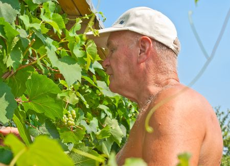 off cuts: An elderly man cuts off the shoots of grapes Stock Photo
