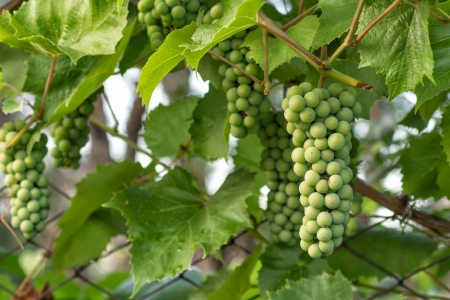 unripened: unripe bunches of grapes and leaves in the morning sun Stock Photo