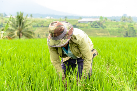 farmer working in the rice terraces of Jatiluwih, Bali, Indonesia Stock Photo