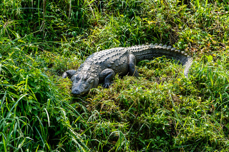 Crocodile in Chitwan-Nationalpark, Nepal