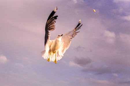 seagull picking a piece of bred while flying in the air Stock Photo
