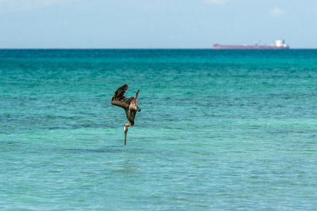hunting pelican in the Bay of Bahia de las Aguilas, Dominican Republic Stock Photo
