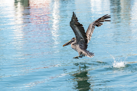 pelican flying in the harbor of Basse-Terre, Guadeloupe