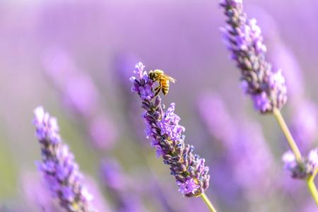 プロバンス ニース高原ラベンダー花にミツバチ