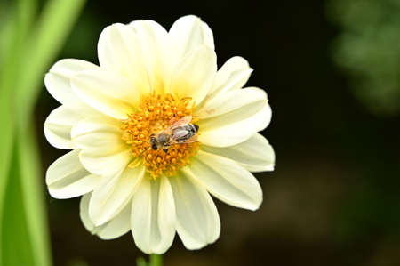 Garden flowers with honey bee on it, isolated, close-up