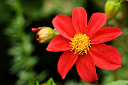 Flower in the garden with large red petals, isolated, close-up
