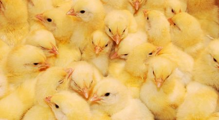 young yellow chickens on a poultry farm  photo