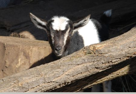 young goat, standing after a wooden log.  photo