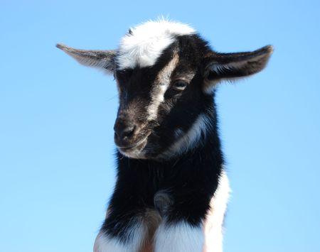 little goat on a background blue sky photo