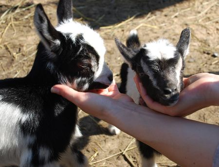 two little goats are in human hands  photo