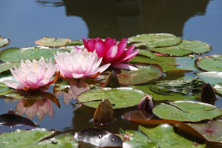 Pink water-lilies and a green frog afloat in a water garden