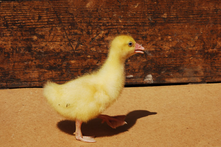 yellow duckling: The little yellow duckling on the farm
