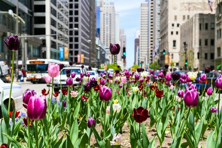 median: Tulips in the median of Mag Mile in Chicago
