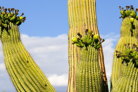 saguaro cactus: Saguaro cactus in Arizona, USA, with four arms in flower