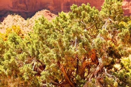 enebro: Árbol del enebro con las bayas verdes.