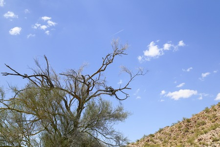 Almost dead tree in the Sonoran desert, Arizona, USA, with part of a rugged hill and blue sky in the back. Some leaves are still grwoing on the tree.