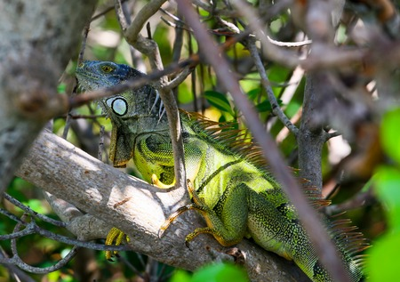 spines: Green iguana with spines and dewlap sitting on a tree hidden in the branches in Key West, Florida, USA.