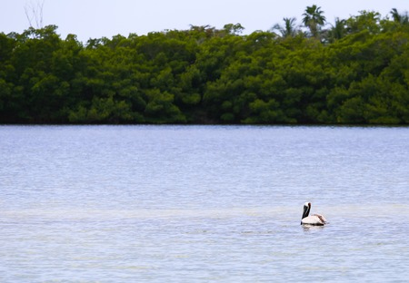myers: Adult Brown pelican swimming in Estero Bay in Fort Myers Beach.