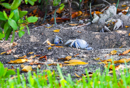 burrows: Blue land crabs digging in the soil and guarding their burrows in Key West, Florida, USA