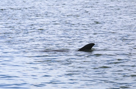 orificio nasal: A dolphin swimming in Estero Bay right beneath water surface in Fort Myers Beach.