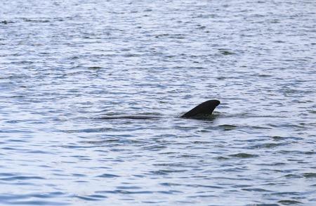 orificio nasal: Un delfín nadando en Estero Bay justo debajo de la superficie del agua en Fort Myers Beach.