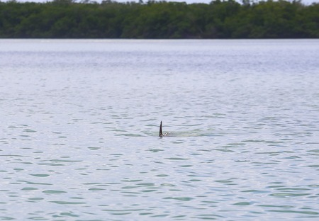 myers: Dolphin swimming right beneath water surface towards the observer in Estero Bay in Fort Myers Beach. Stock Photo